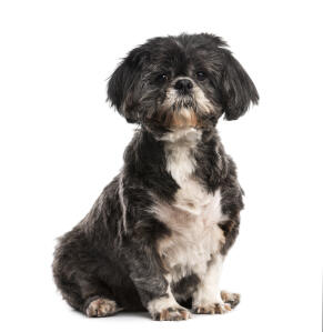 An adult Shih Tzu with a short puppy cut coat and floopy ears