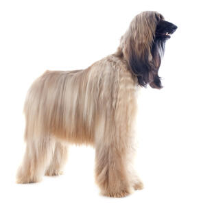 A Blonde coated Afghan Hound standing tall