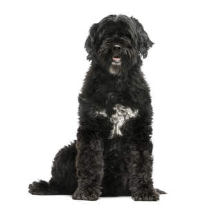 A handsome Portuguese Water Dog with thick black fur