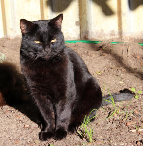 a lovely bombay cat sitting in the sun