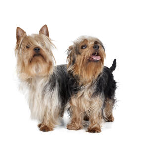 Two wonderful Silky Terriers looking up at their owner, waiting for a command