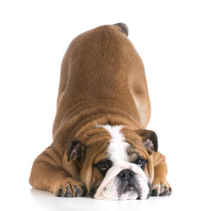 the adorable wrinkly faced bulldog bowing down
