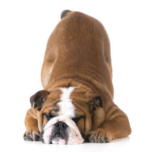 A playful bulldog bowing down with a cute disgruntled look about him