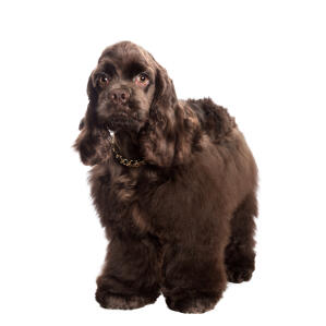 a smart chocolate brown american cocker spaniel with a fluffy coat