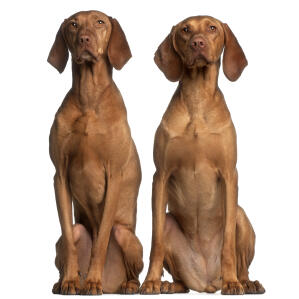 Two neatly sitting red Vizslas enjoying each others obedience