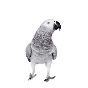 The brilliant grey and white feather pattern of the African Grey Parrot