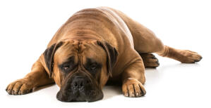 A typical position of an adult Bullmastiff