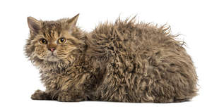 A Selkirk Rex has a long wavy coat