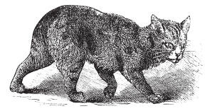 An earlier depiction of the Manx cat