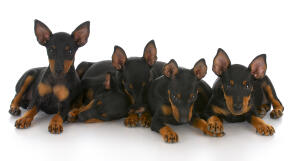 Five wonderful little Manchester Terriers showing off their giant ears