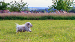An elegant Coton De Tulear enjoying the open air