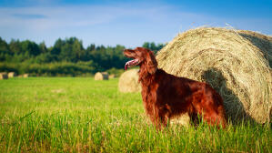 A beautiful Irish Setter standing tall, showing off it's long, soft coat