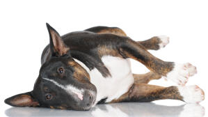 A adult Miniature Bull Terrier spread out across the floor