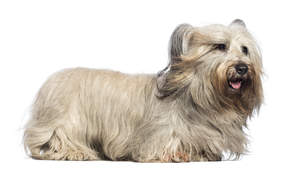 A healthy adult Skye Terrier showing off it's wonderful long coat