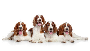 Four Welsh Springer Spaniels lying together, each with beautiful brown and white coats