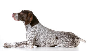 A German short haired pointer with a lovely speckled coat