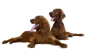 Two lovely adult Irish Setters enjoying each others company