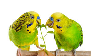 Two Budgerigars feeding on a perch