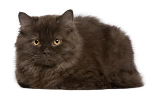 A british longhair cat with a smokey grey coat