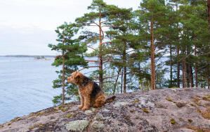 A mature Airedale Terrier enjoying a rest on the rocks