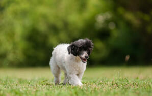 A lovely, little Chinese Crested puppy, strolling on the grass