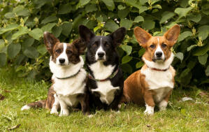 Three adult Pembroke Welsh Corgis, each with different, beautifully coloured coats