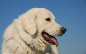 A close up of a Pyrenean Mountain Dog's wonderful large head