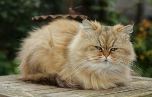 A beautiful golden Persian curled up outside