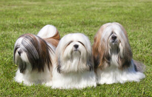 Three wonderful, little Lhasa Apsos, enjoying each others company on the grass