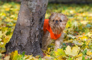 A beautiful little Brussels Griffon poking it's head around a tree