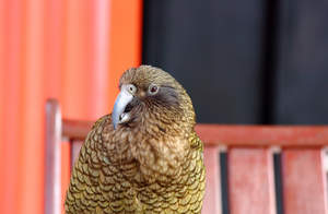 A close up of a Kea's beautiful eyes