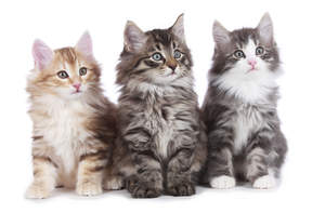 Three pretty Norwegian Forest cat kittens