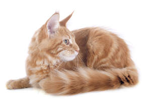 A beautiful ginger tabby Turkish Angora