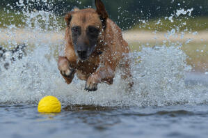 A powerful Belgian Shepherd Dog (Malinois) splashing in water