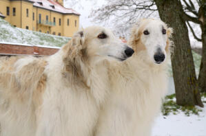 A close up of two beautiful, light coated Borzois, enjoying each others company