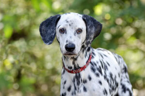 An attentive young Dalmatian waiting for a command from it's owner