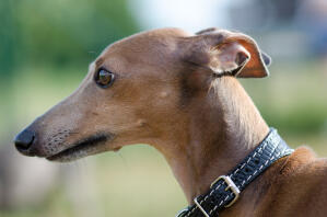 A close up of an Italian Greyhound's wonderful long nose