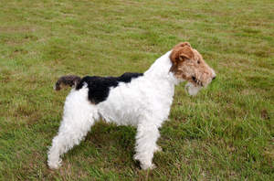 A healthy adult Wire Fox Terrier showing off it's beautiful, short body