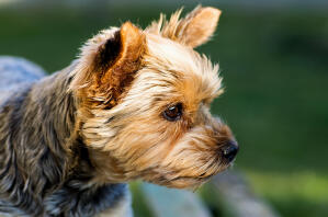 A close up of a Yorkshire Terrier's short, thick, wiry coat
