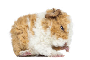 An Alpaca Guinea Pig with incredible thick curly fur