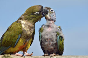 A wonderful, parent Burrowing Parakeet, feeding it's young