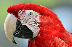 A close up of a Red and Blue Macaw's wonderful eyes