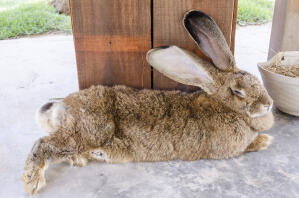 A beautiful Flemish Giant rabbit stretched out on the floor