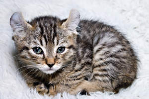 A little highlander kitten who will grow into a big cat