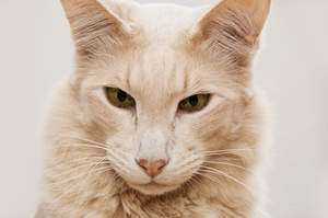 A Javanese cat with its distinctive longer face