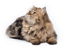 A tabby Persian with its small ears