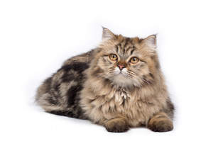 Persian tabby looking alert