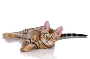 A happy Toyger stretching
