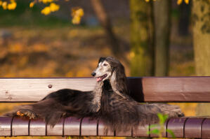 A beautiful dark haired afghan hound enjoying a rest on a park bench