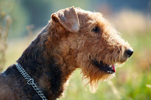 A close up of an Airedale Terrier's wiry coat and scruffy beard